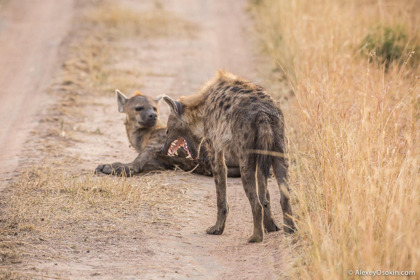 kenya - hyena_ao, aug.2015-8.jpg