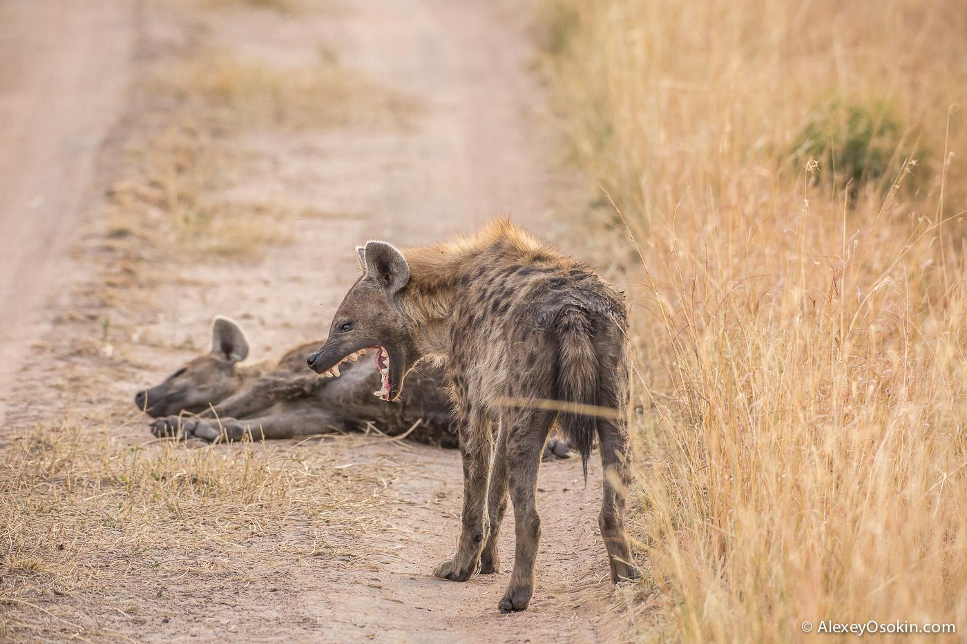kenya - hyena_ao, aug.2015-9.jpg