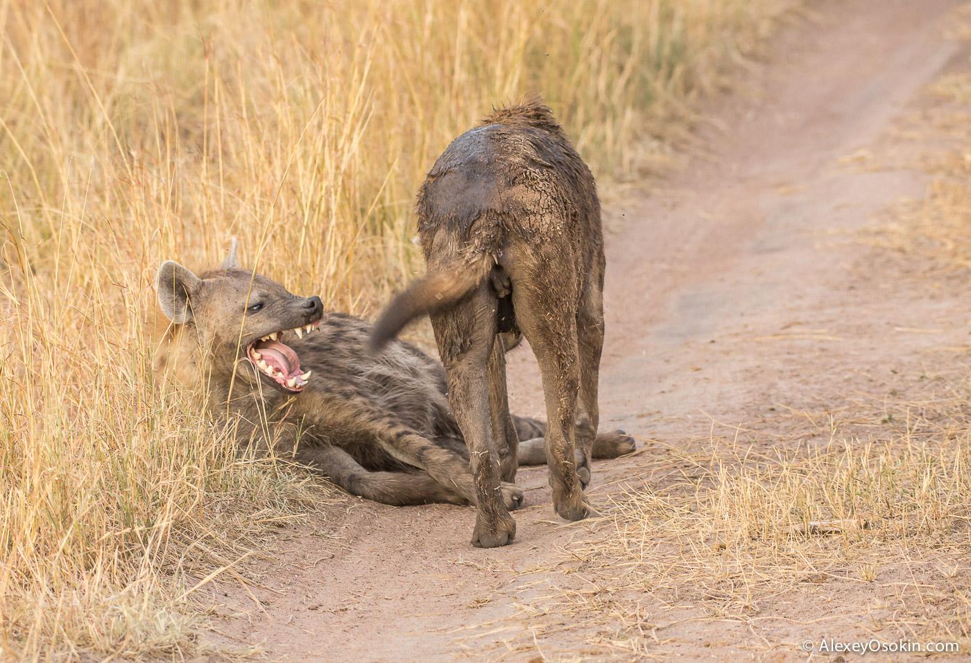 kenya - hyena_ao, aug.2015-11.jpg