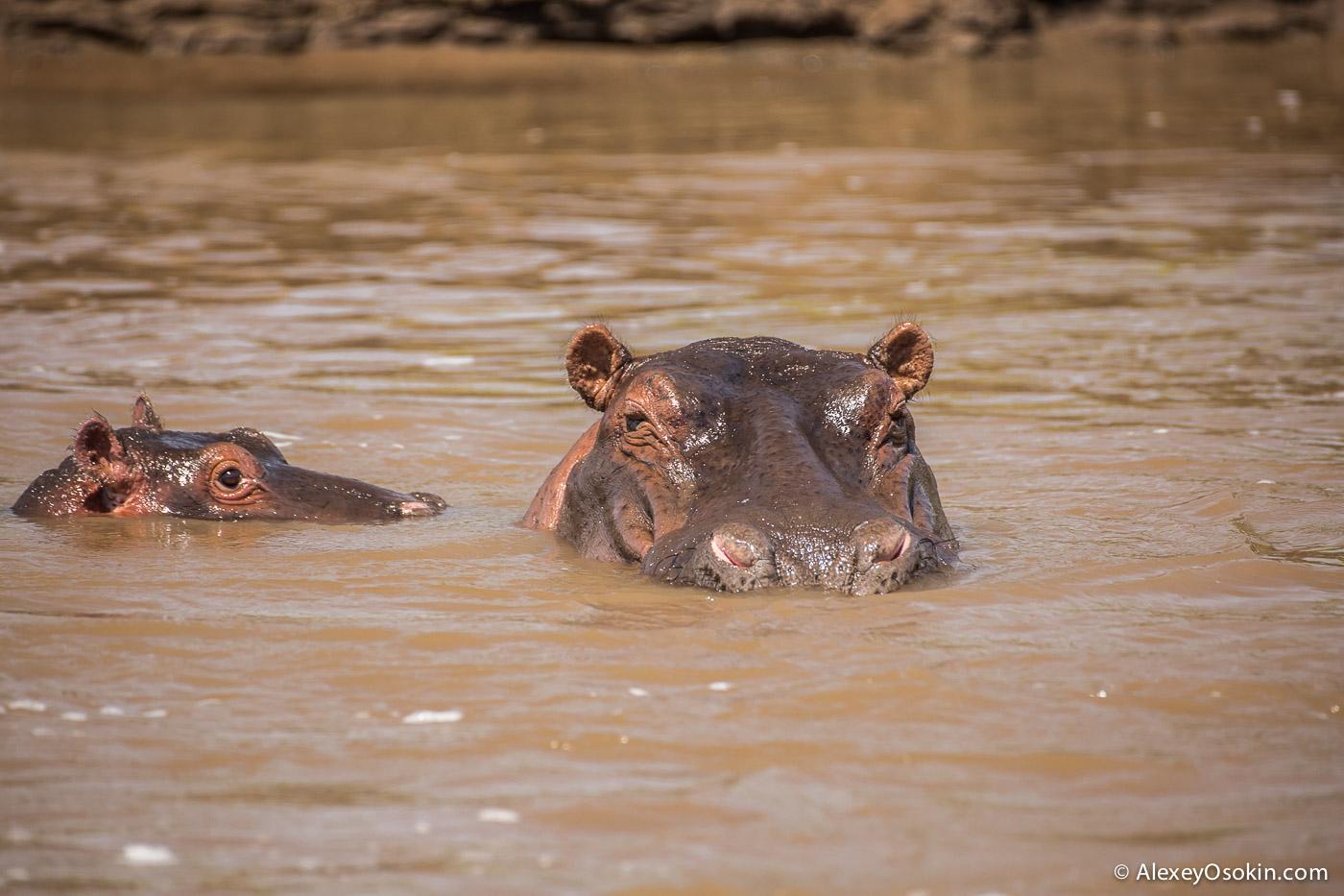 kenya - hippos-ao, aug.2015-2.jpg