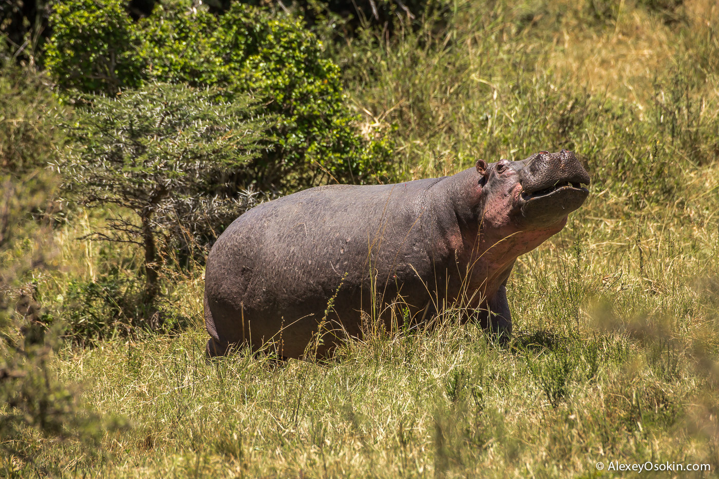 kenya - hippos-ao, aug.2015-16.jpg