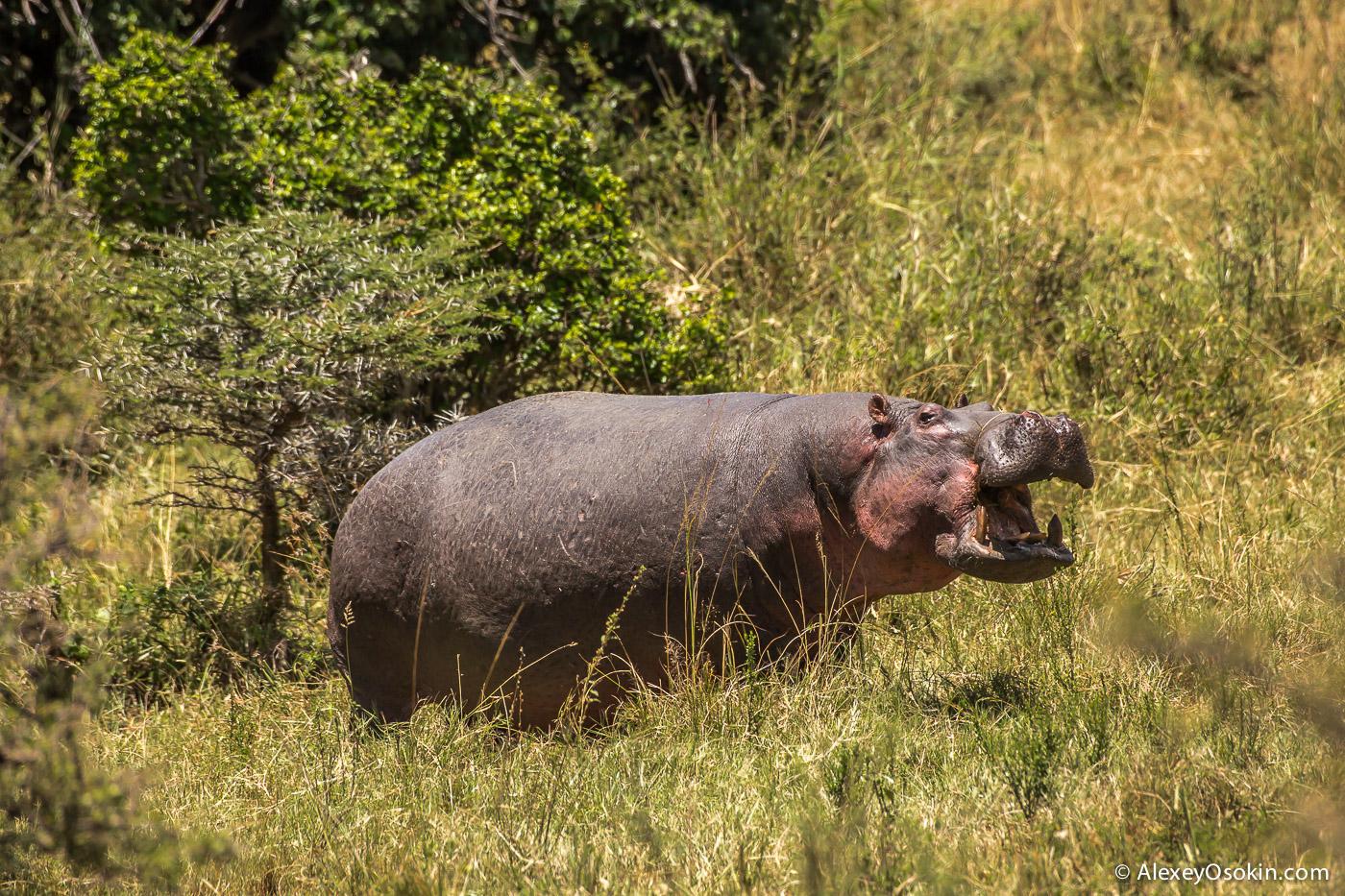 kenya - hippos-ao, aug.2015-17.jpg