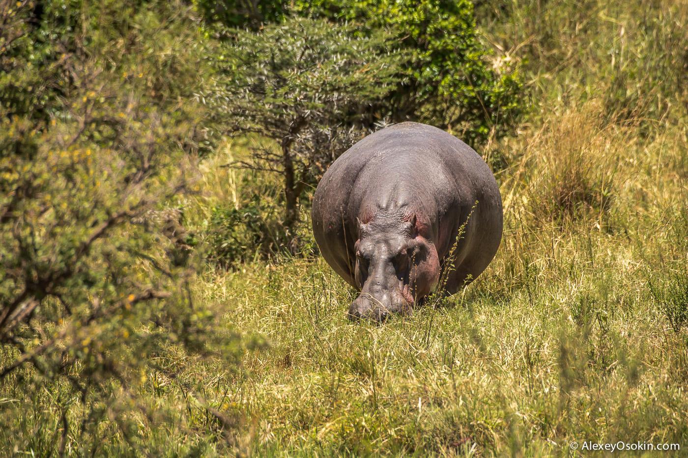 kenya - hippos-ao, aug.2015-18.jpg