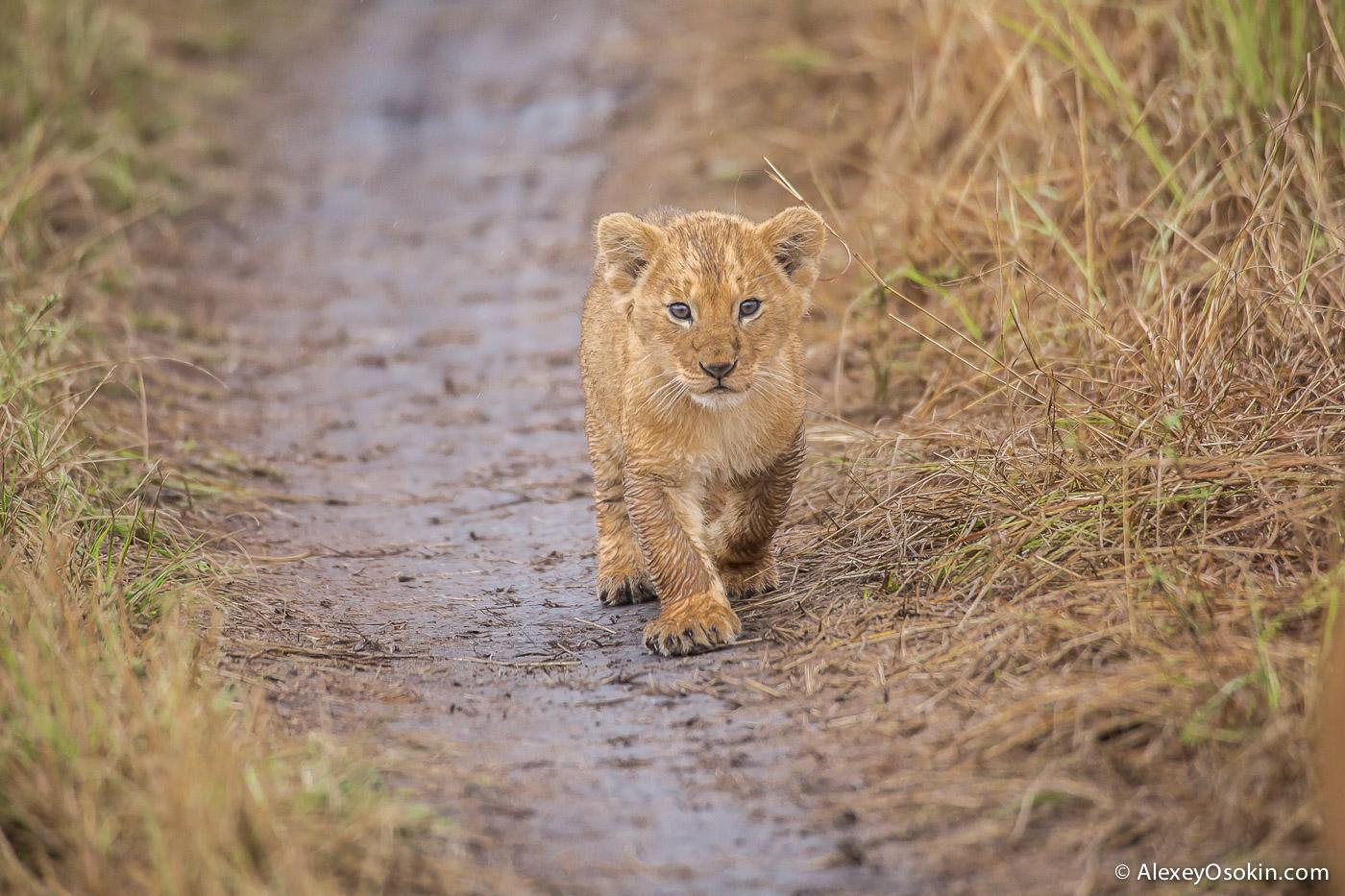 kenya-lions-2-ao, aug.2015-7.jpg