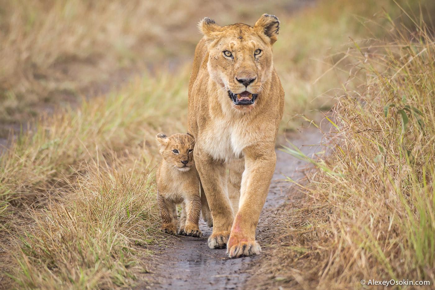 kenya-lions-2-ao, aug.2015-6.jpg
