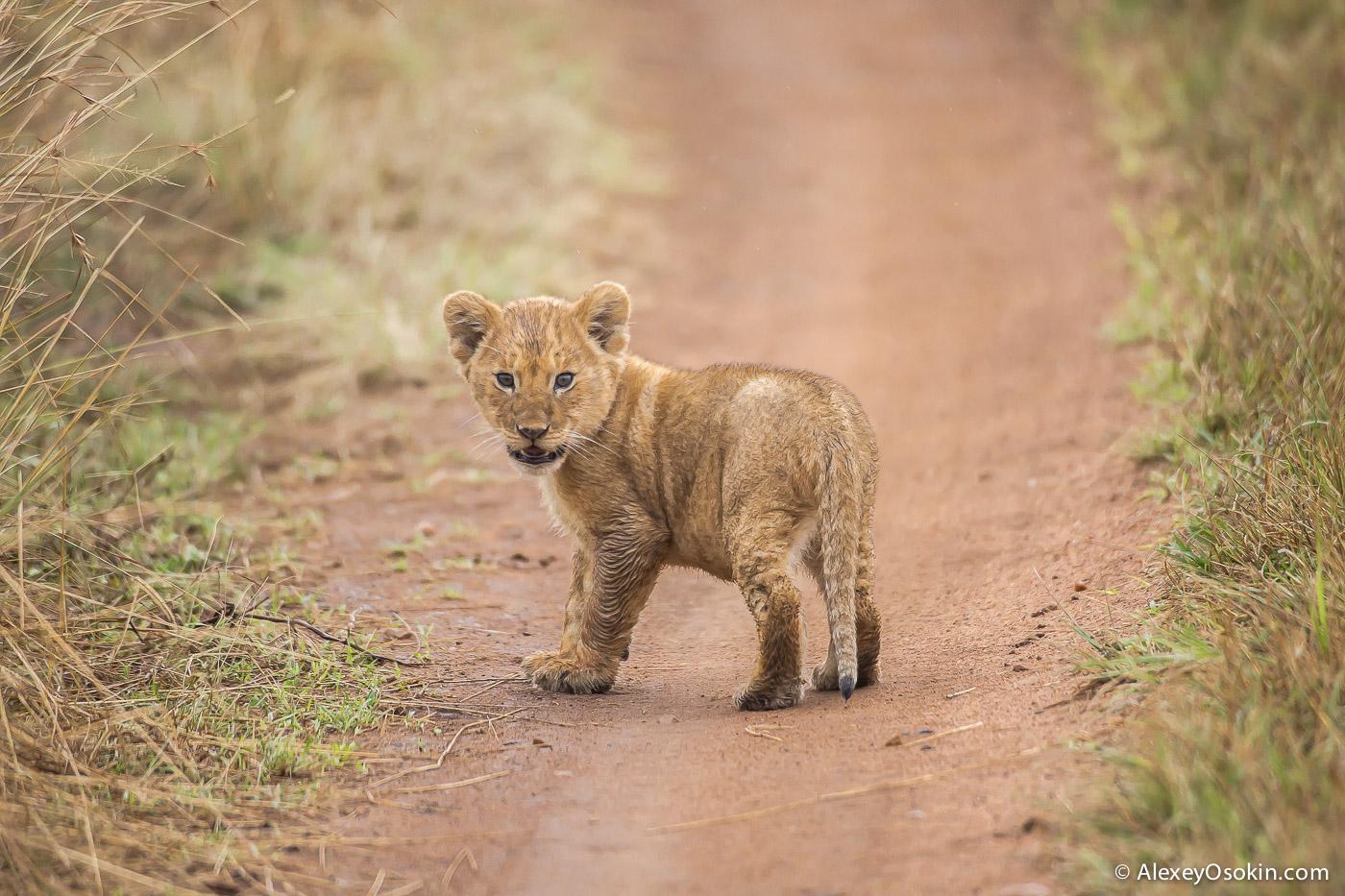 kenya-lions-2-ao, aug.2015-9.jpg
