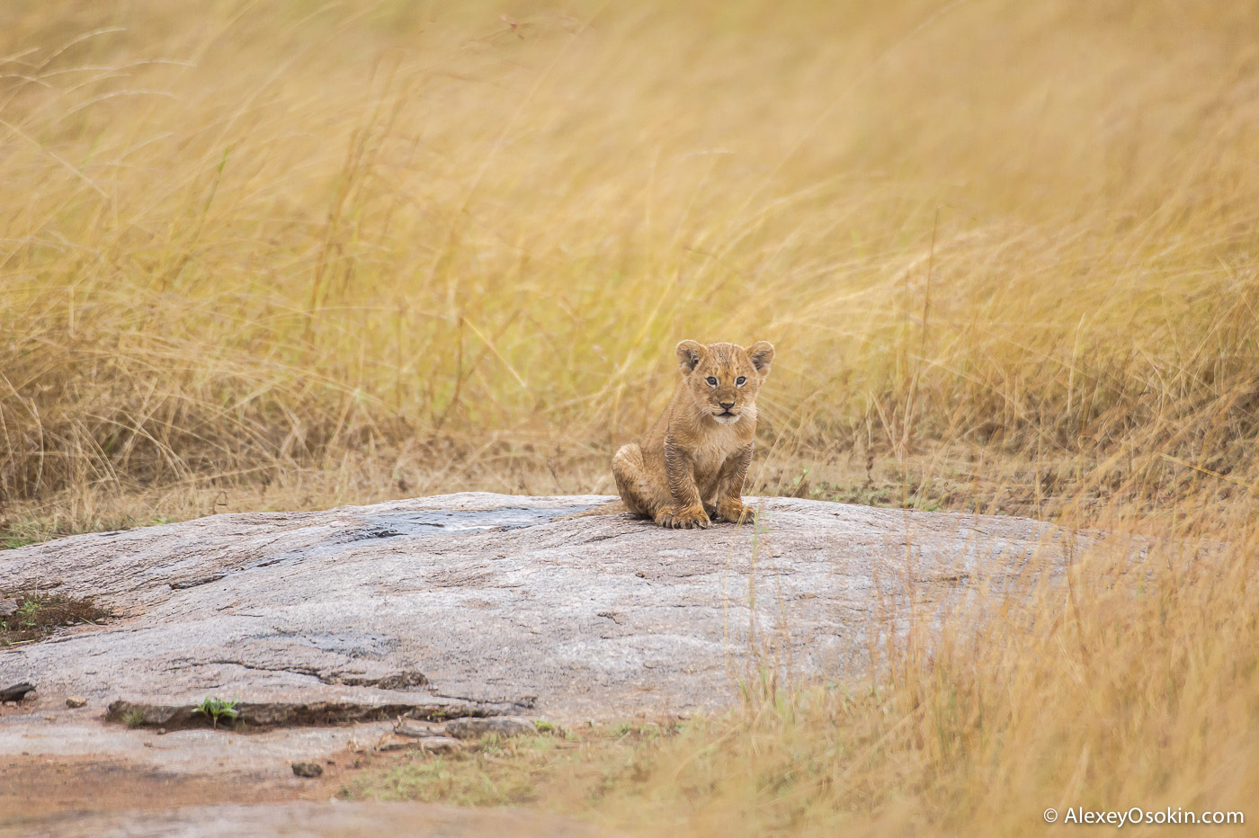 kenya-lions-2-ao, aug.2015-11.jpg