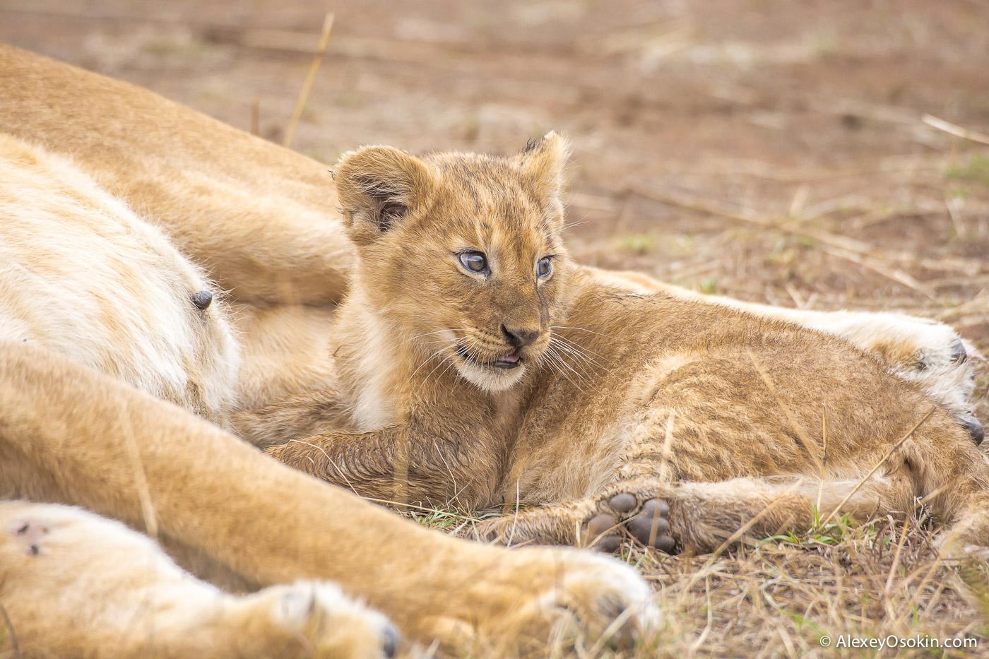 kenya-lions-2-ao, aug.2015-19.jpg