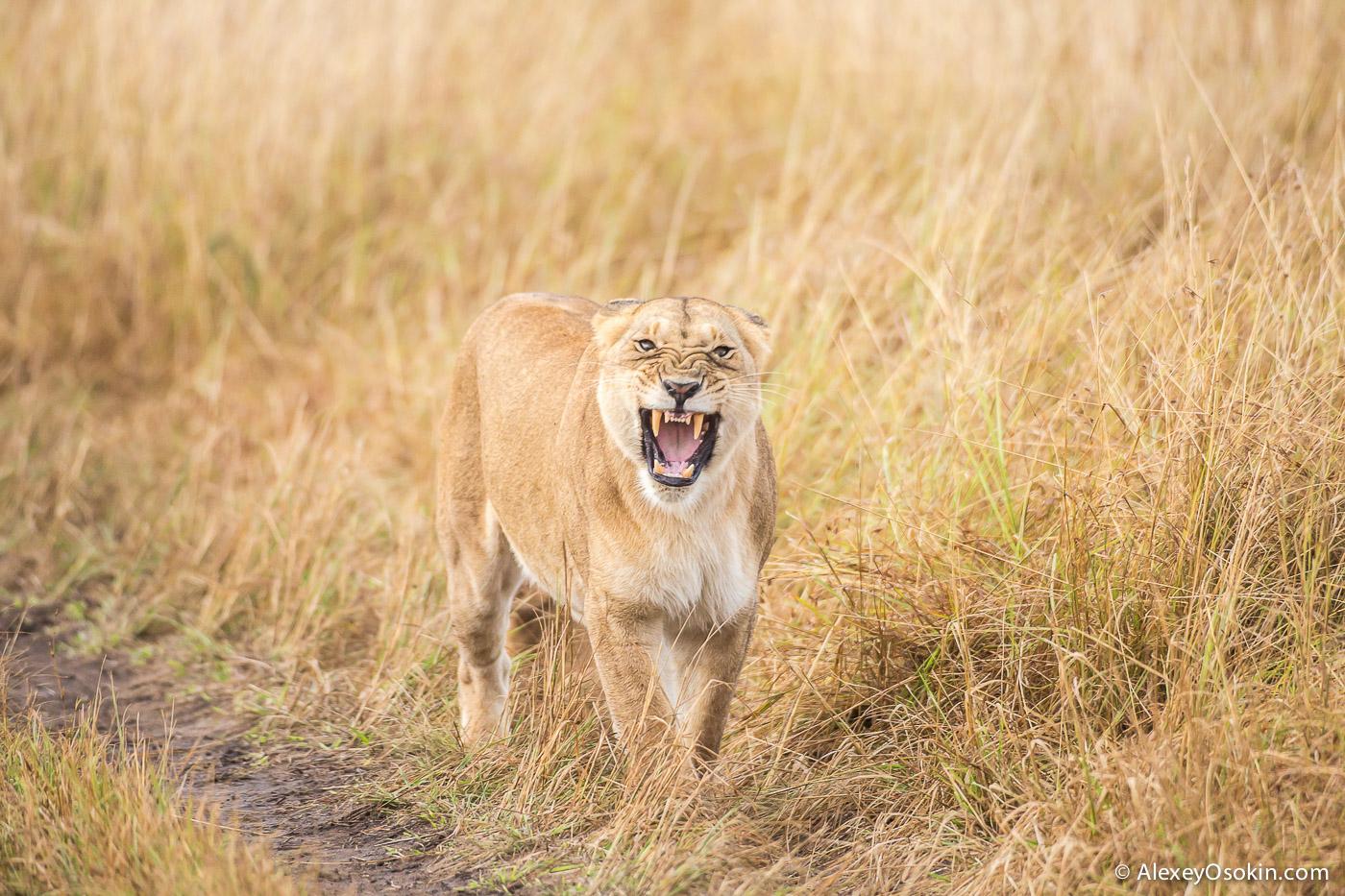 kenya-lions-2-ao, aug.2015.jpg