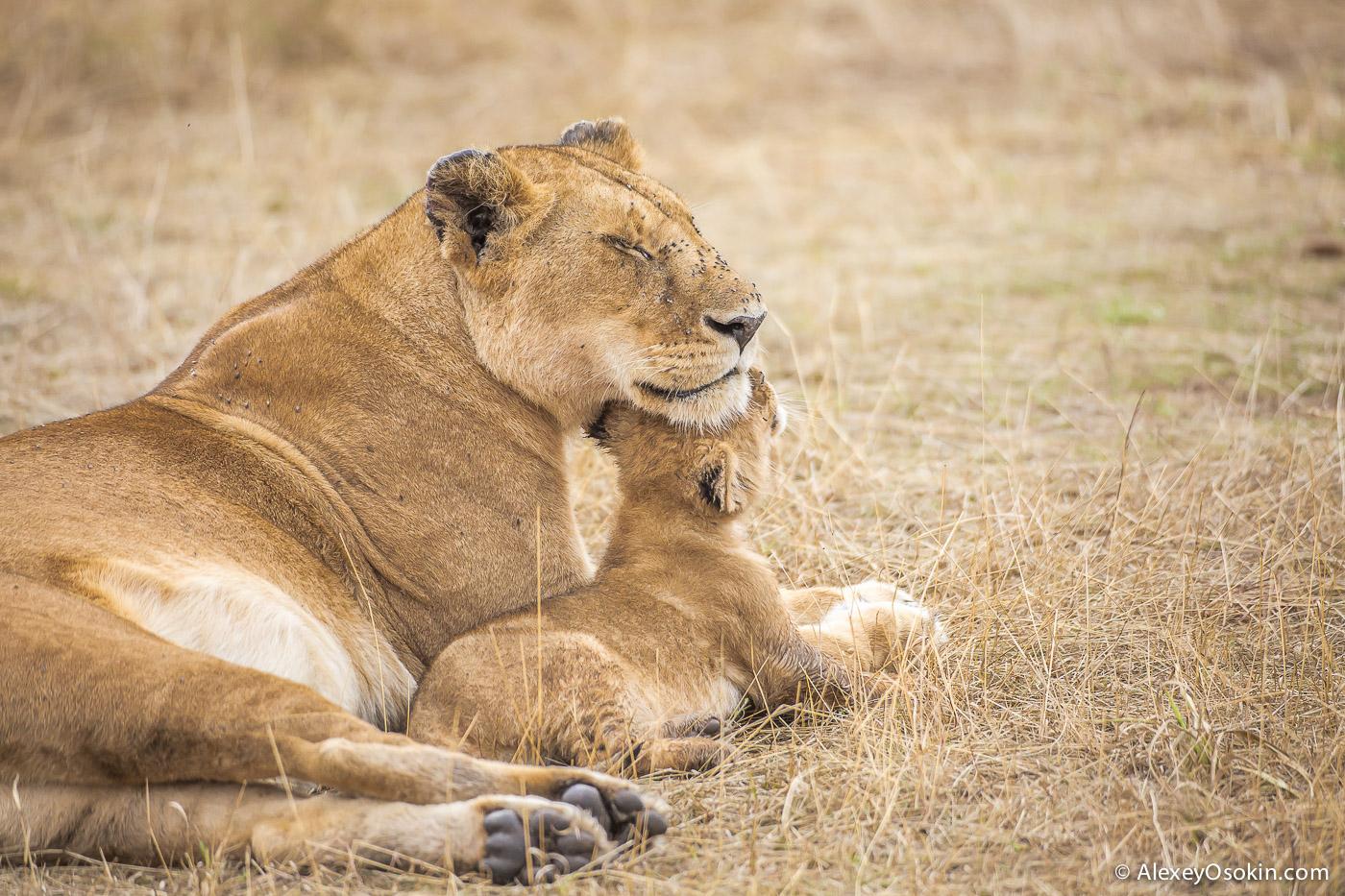 kenya-lions-2-ao, aug.2015-18.jpg