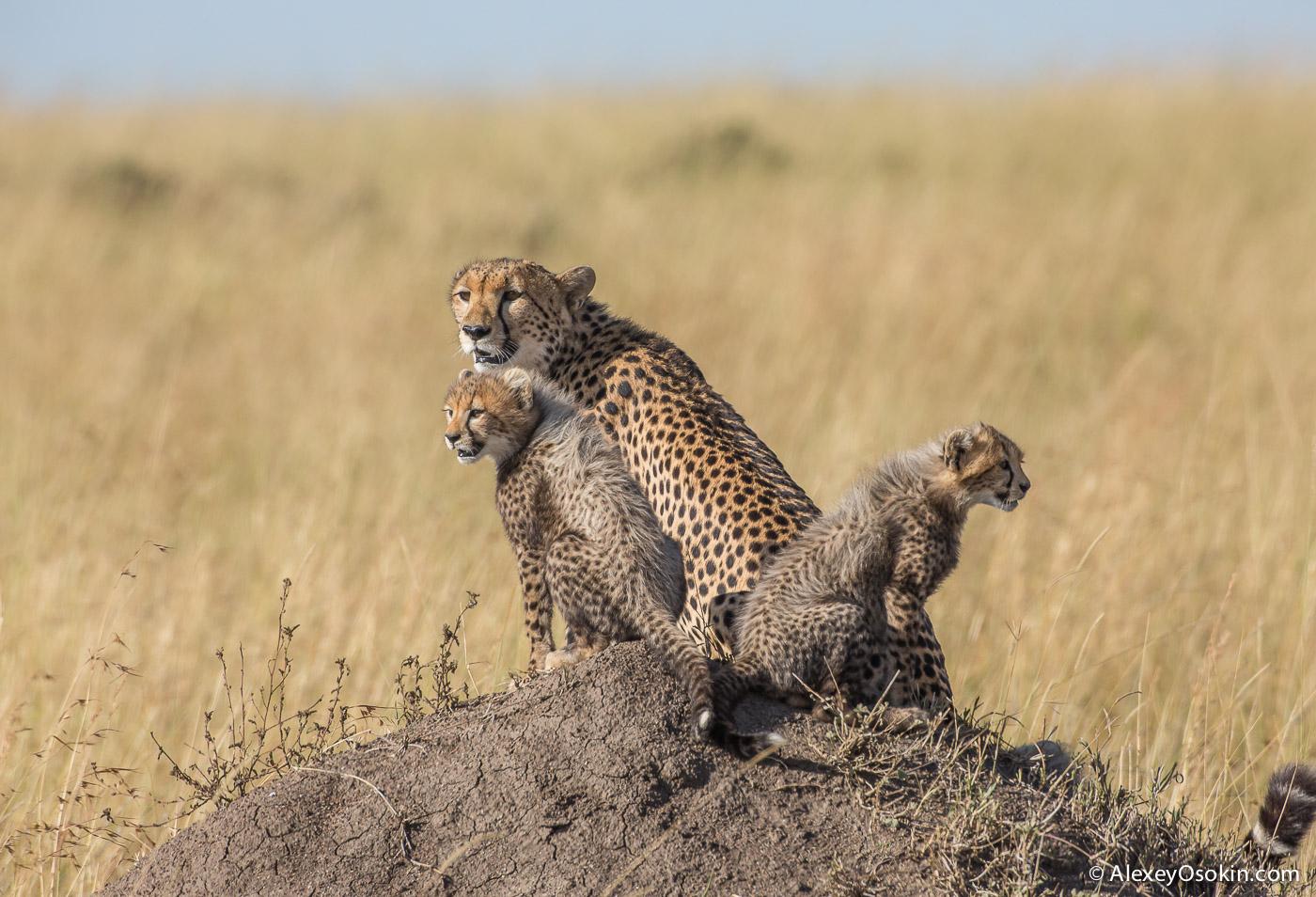kenya-cheetah2-ao, aug.2015-26.jpg