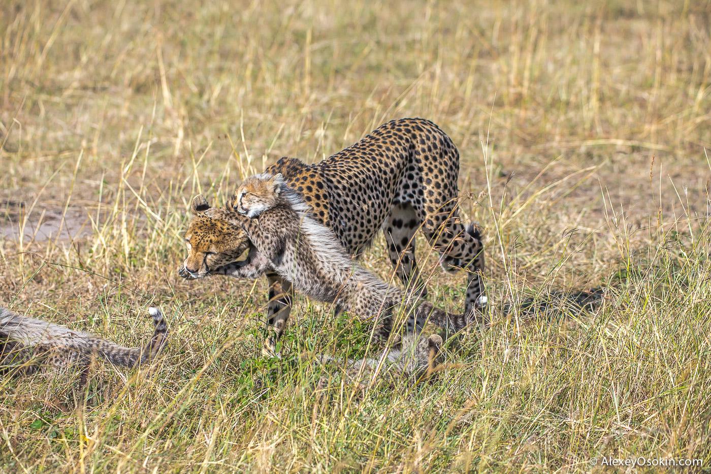 kenya-cheetah2-ao, aug.2015-12.jpg