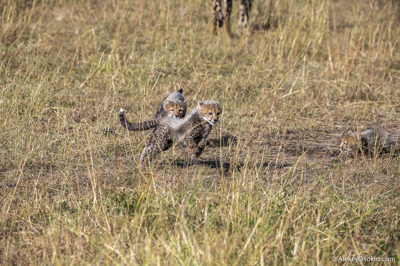 kenya-cheetah2-ao, aug.2015-14.jpg