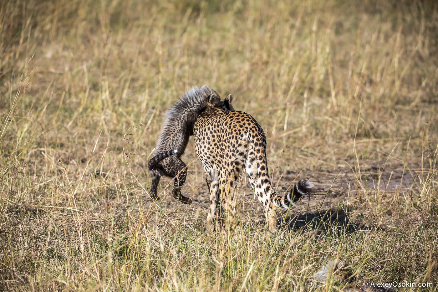 kenya-cheetah2-ao, aug.2015-15.jpg
