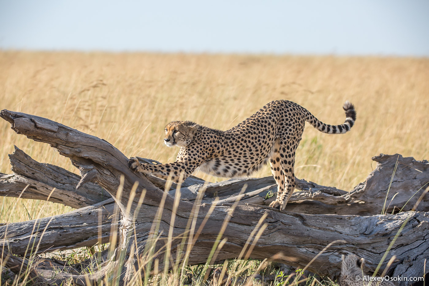 kenya-cheetah2-ao, aug.2015-24.jpg