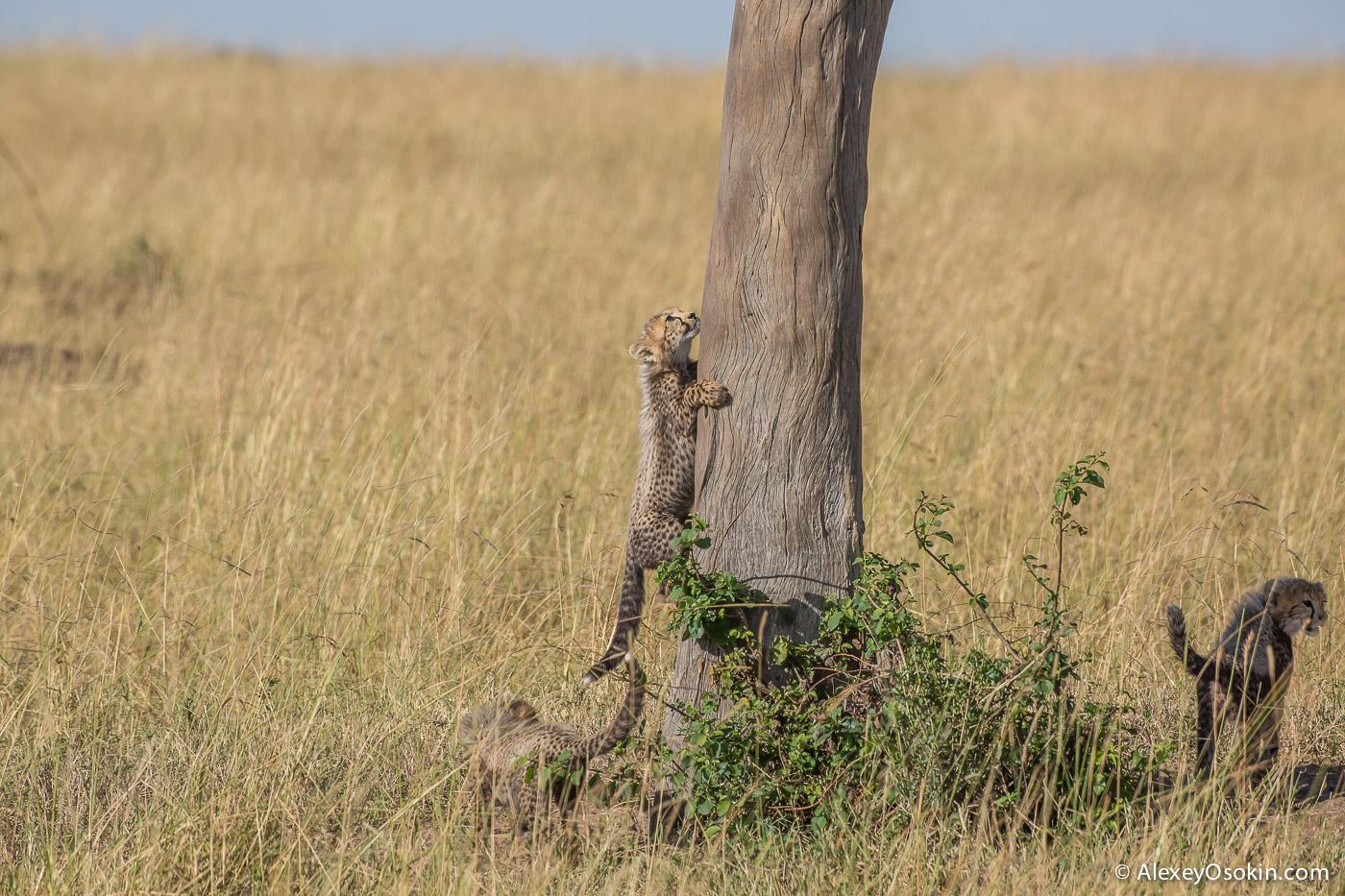 kenya-cheetah2-ao, aug.2015-25.jpg