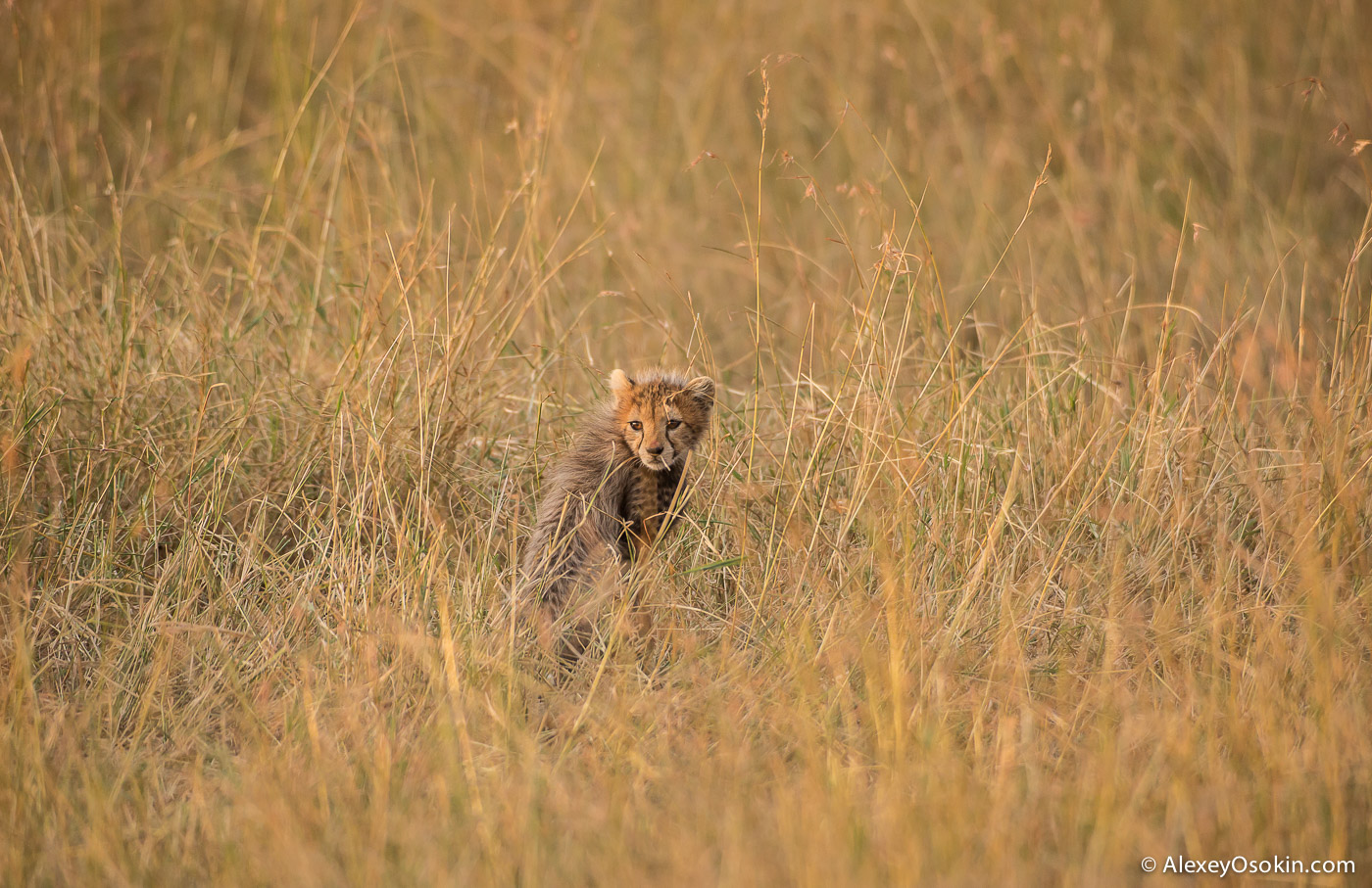 kenya-cheetah2-ao, aug.2015.jpg