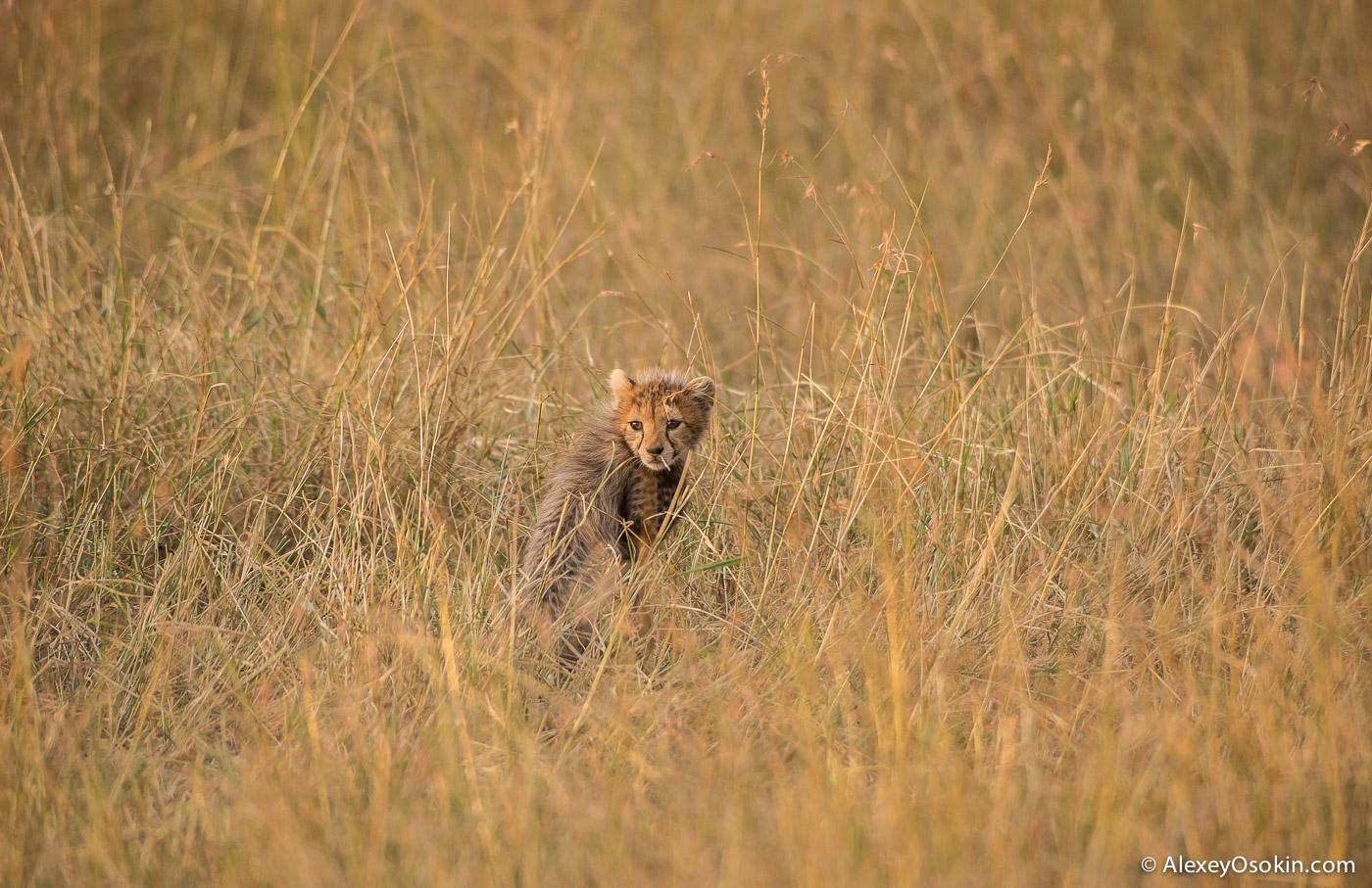 kenya-cheetah2-ao, aug.2015.jpg