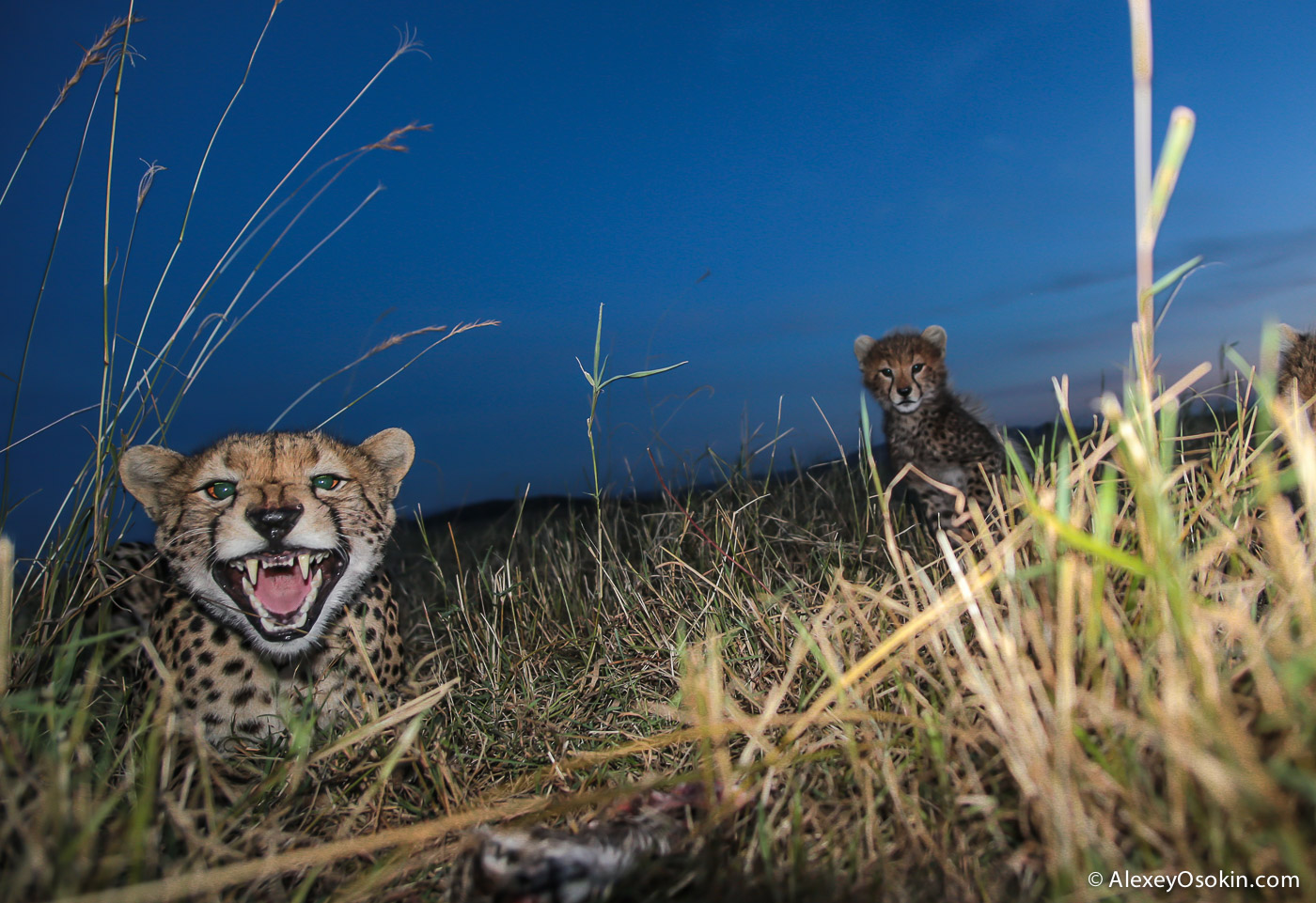 kenya-cheetah2-ao, aug.2015-30.jpg