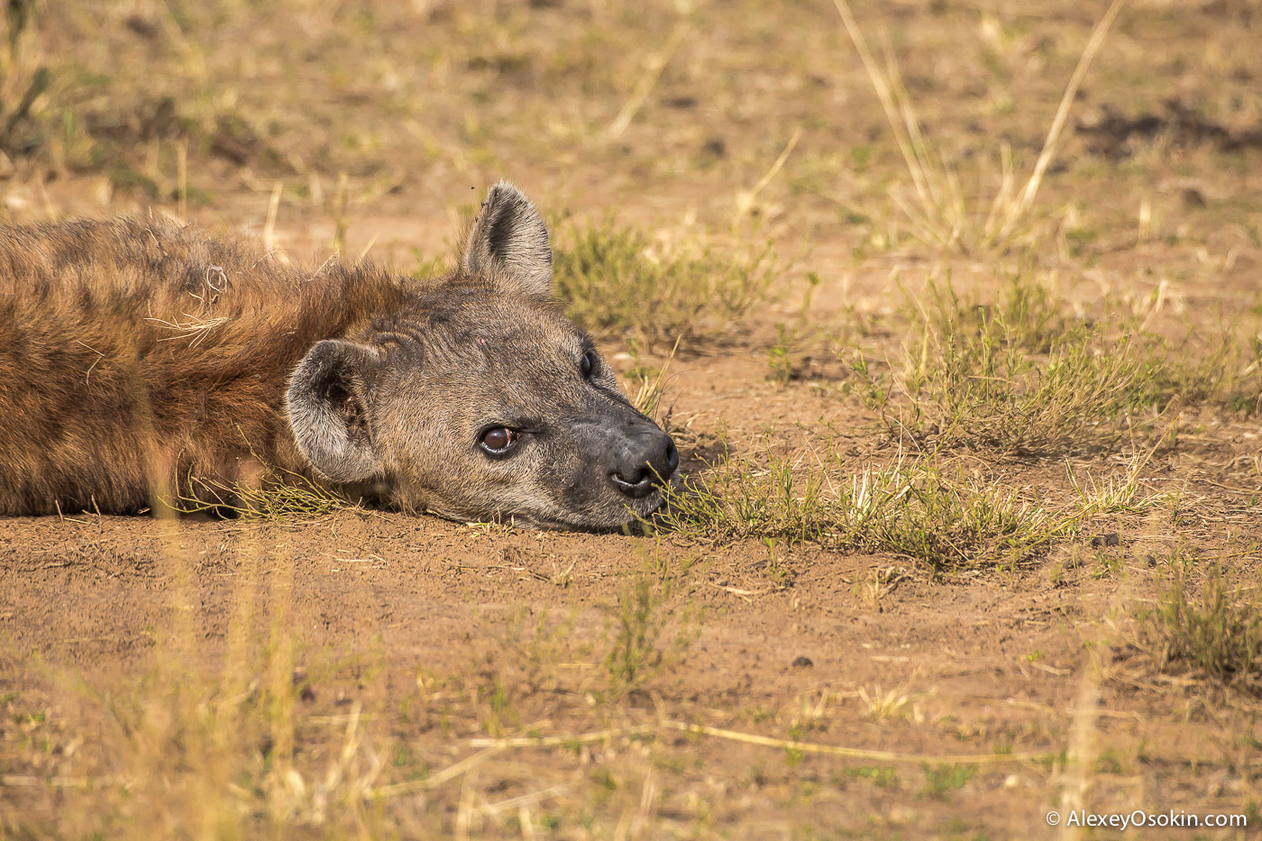 kenya-hayana-cubs-ao, aug.2015-3.jpg