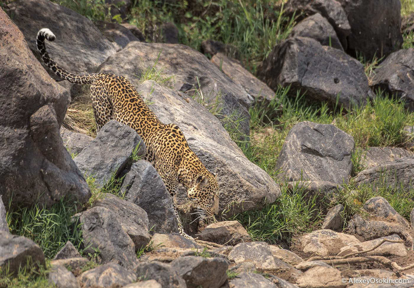 kenya-leopard-ao, aug.2015.jpg