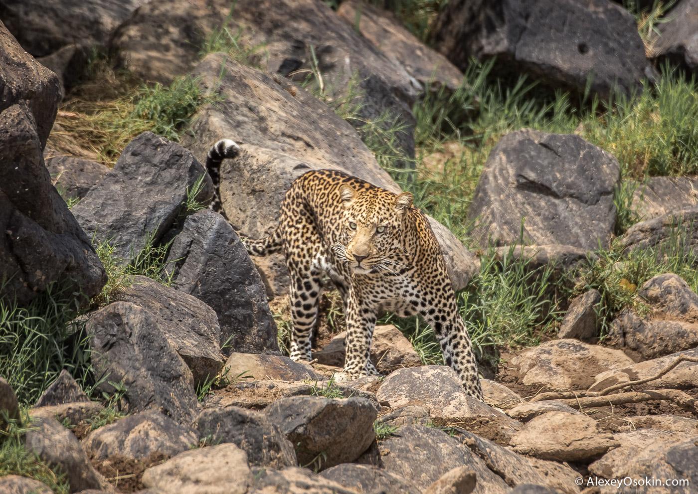 kenya-leopard-ao, aug.2015-2.jpg
