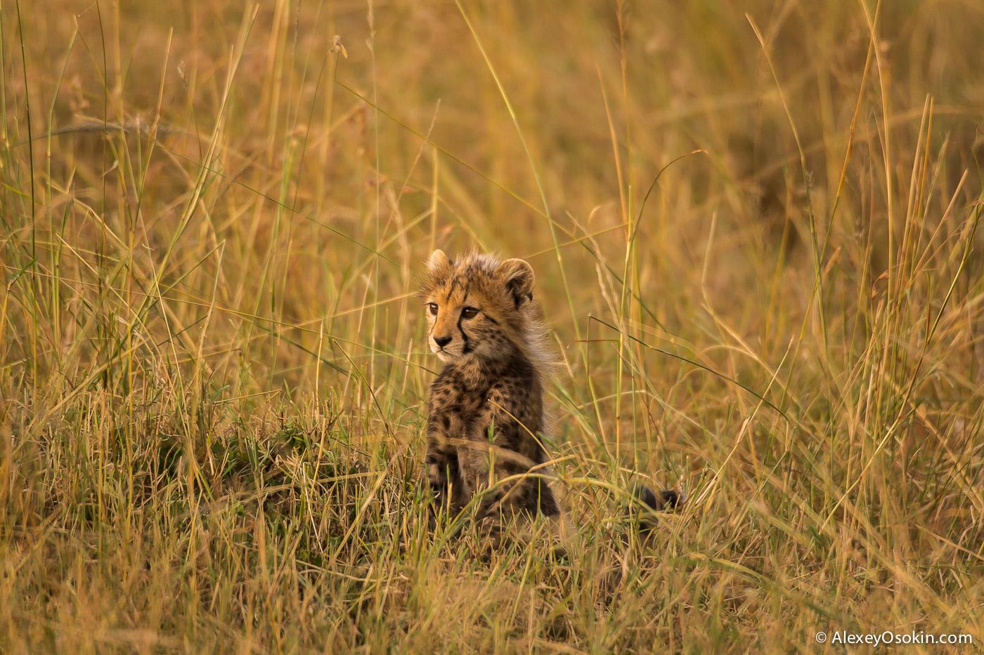 kenya-cheetahs3-ao, aug.2015-3.jpg