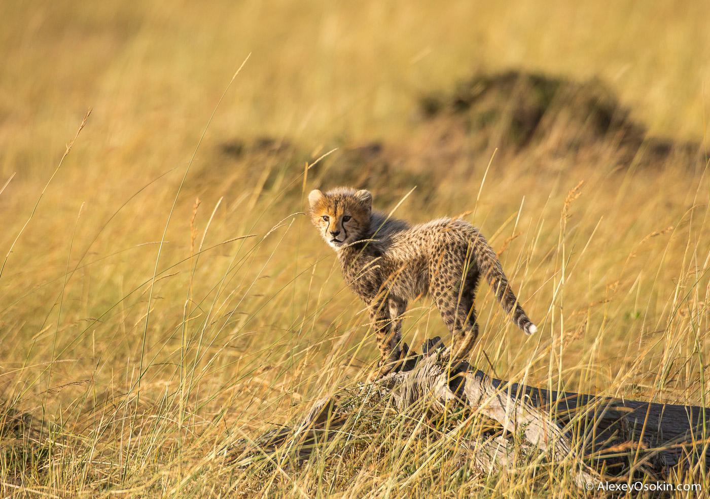 kenya-cheetahs3-ao, aug.2015-11.jpg