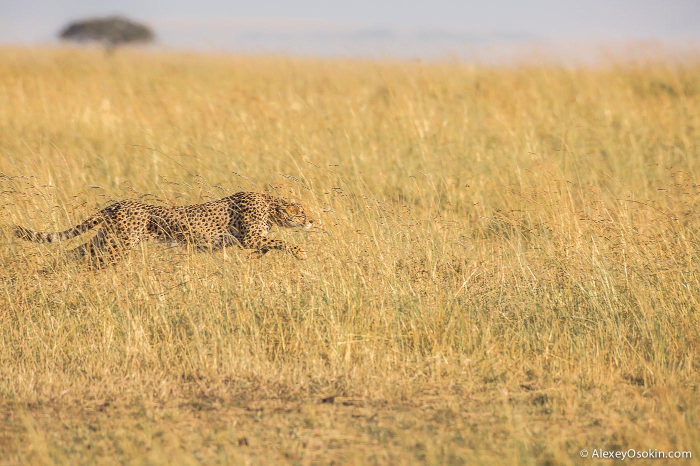 kenya-cheetahs3-ao, aug.2015-14.jpg