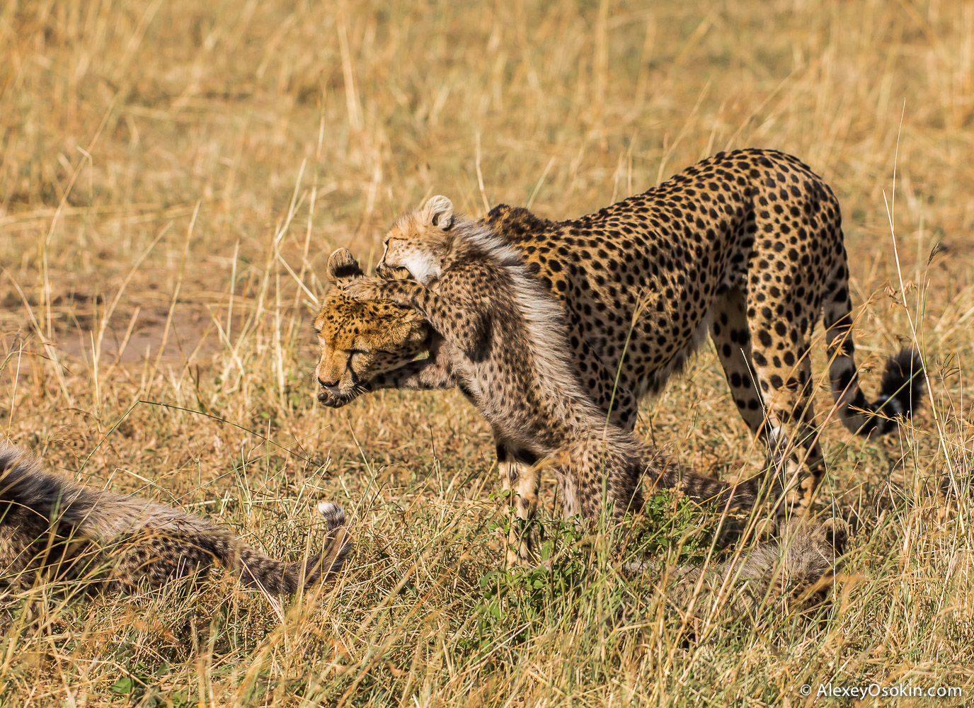 kenya-cheetahs3-ao, aug.2015-20.jpg