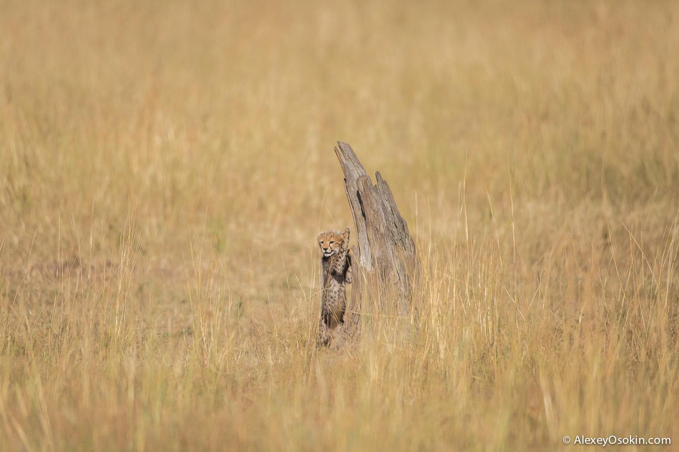 kenya-cheetahs3-ao, aug.2015-31.jpg
