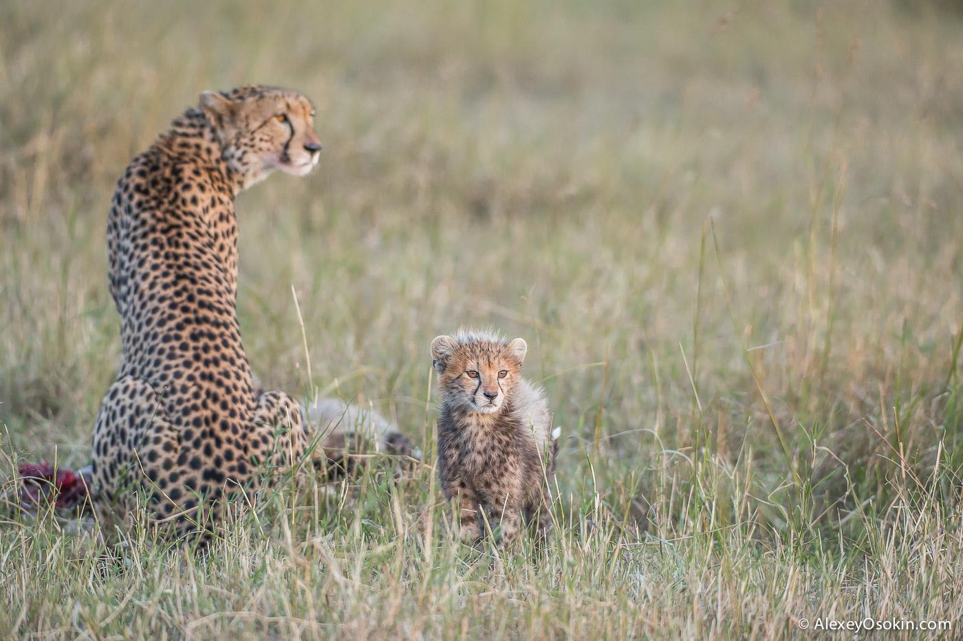 kenya-cheetahs3-ao, aug.2015-50.jpg