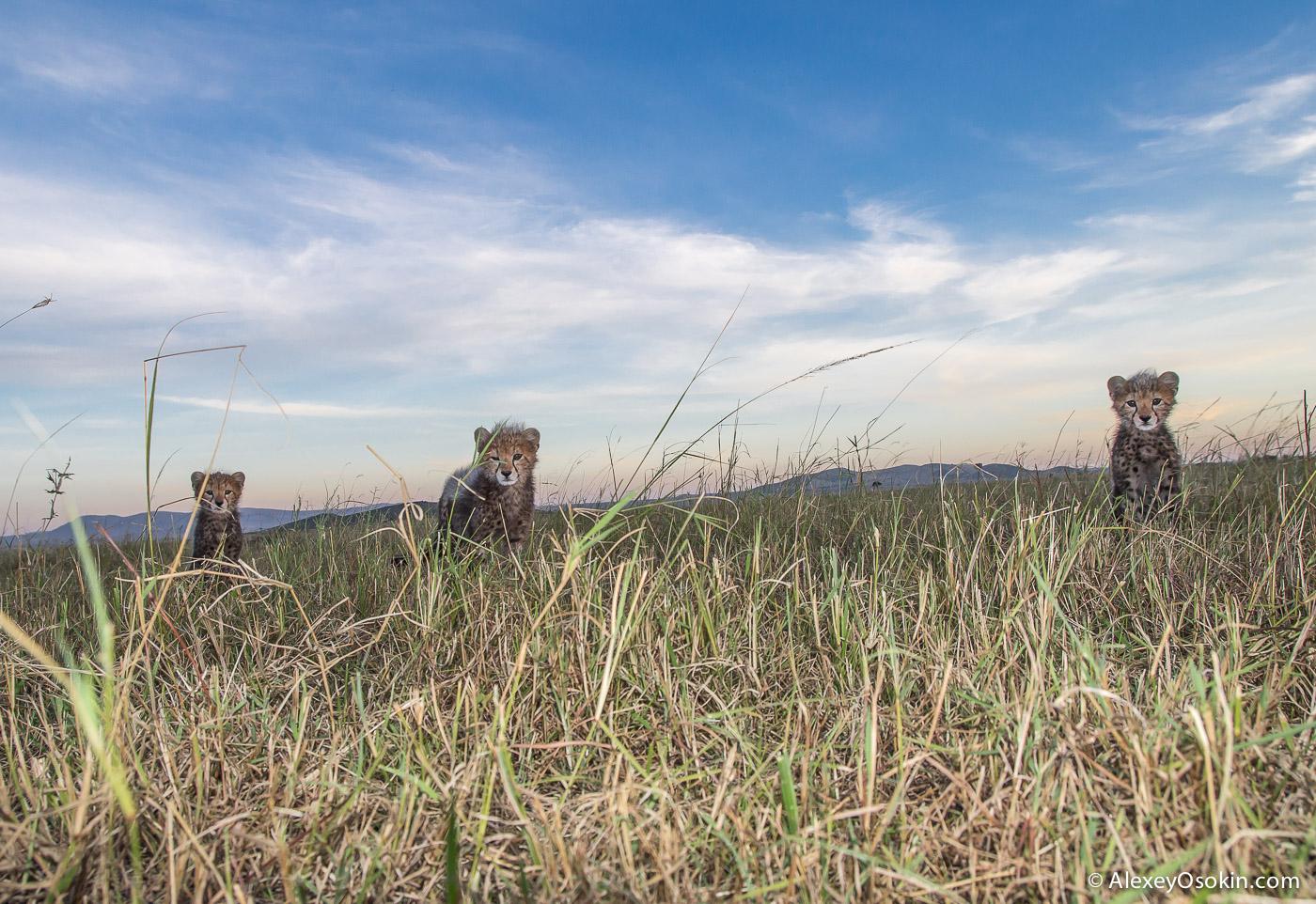 kenya-cheetahs3-ao, aug.2015-54.jpg
