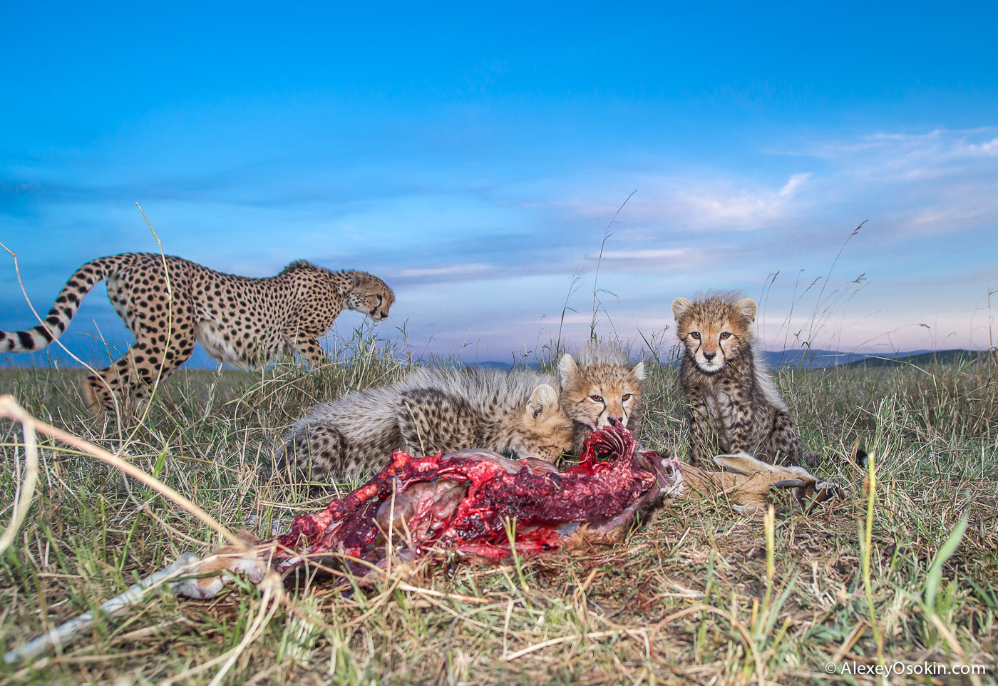 kenya-cheetahs3-ao, aug.2015-56.jpg