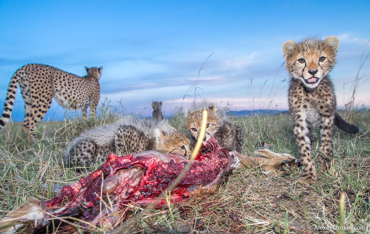 kenya-cheetahs3-ao, aug.2015-58.jpg