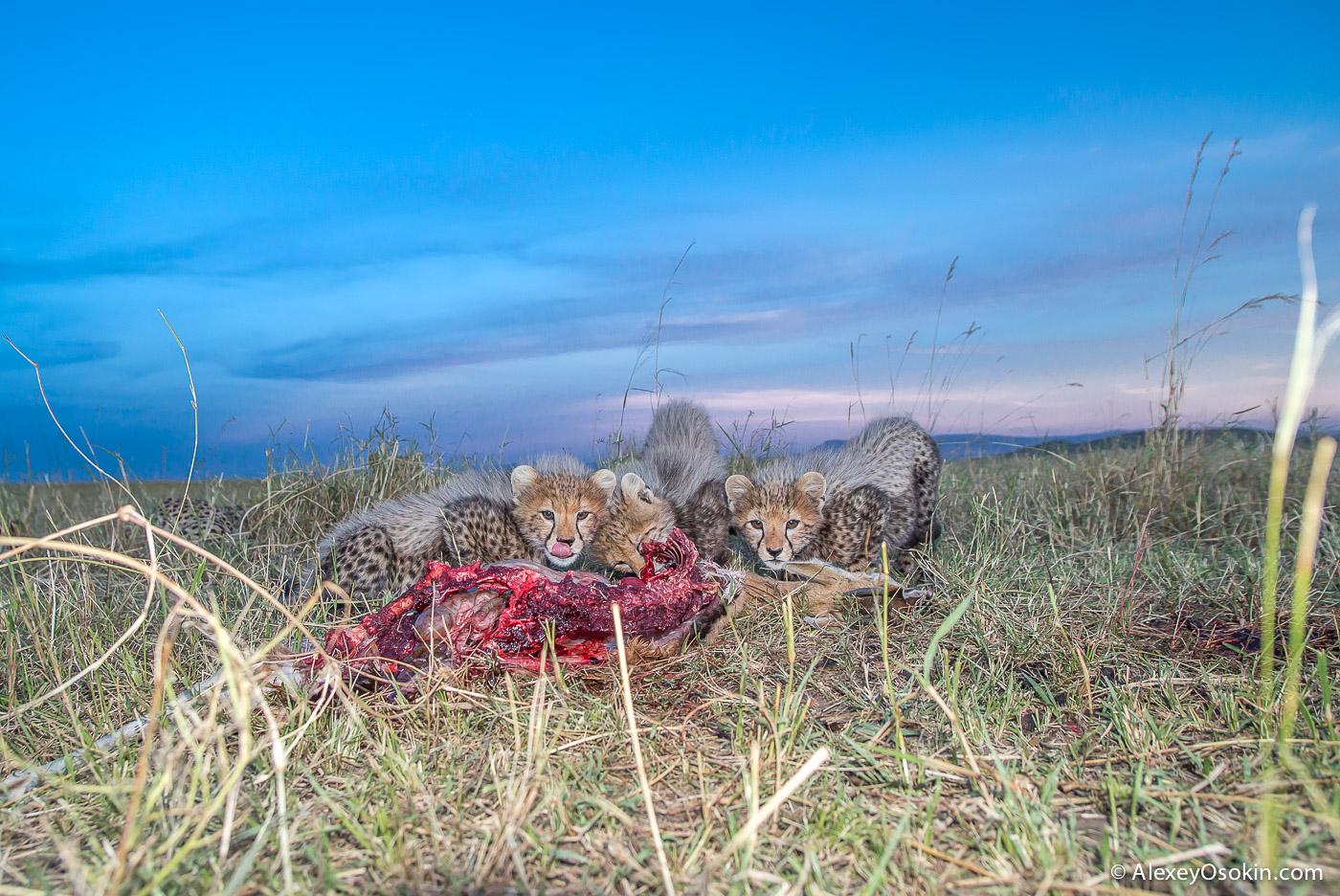 kenya-cheetahs3-ao, aug.2015-59.jpg