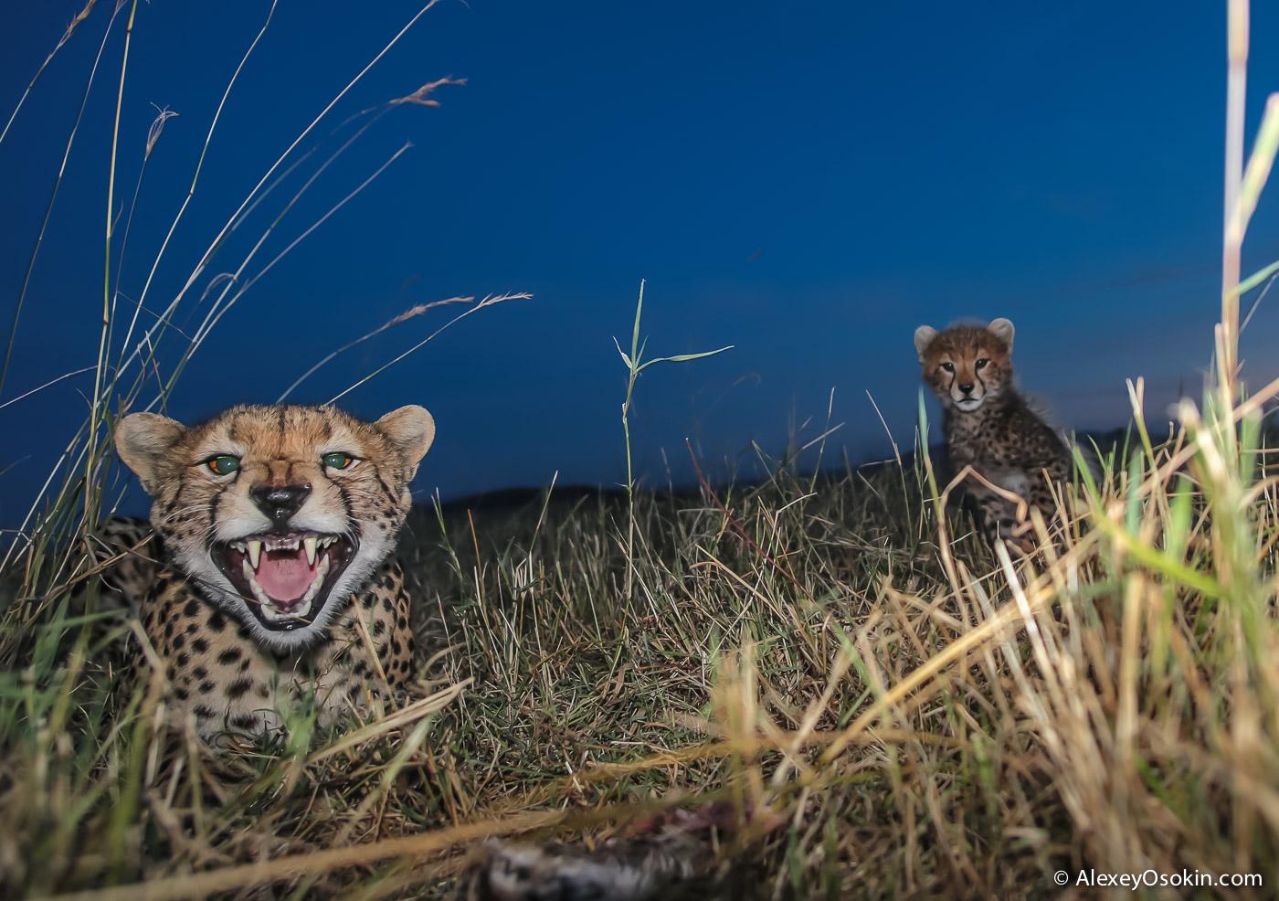 kenya-cheetahs3-ao, aug.2015-66.jpg