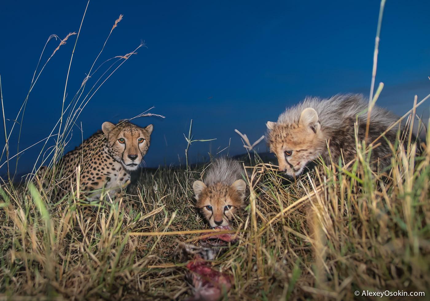 kenya-cheetahs3-ao, aug.2015-67.jpg