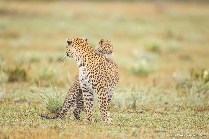 Женщины России и самки диких животных Африки, что общего? Leopard_lerean_poly_ao. oct.2015-13.jpg
