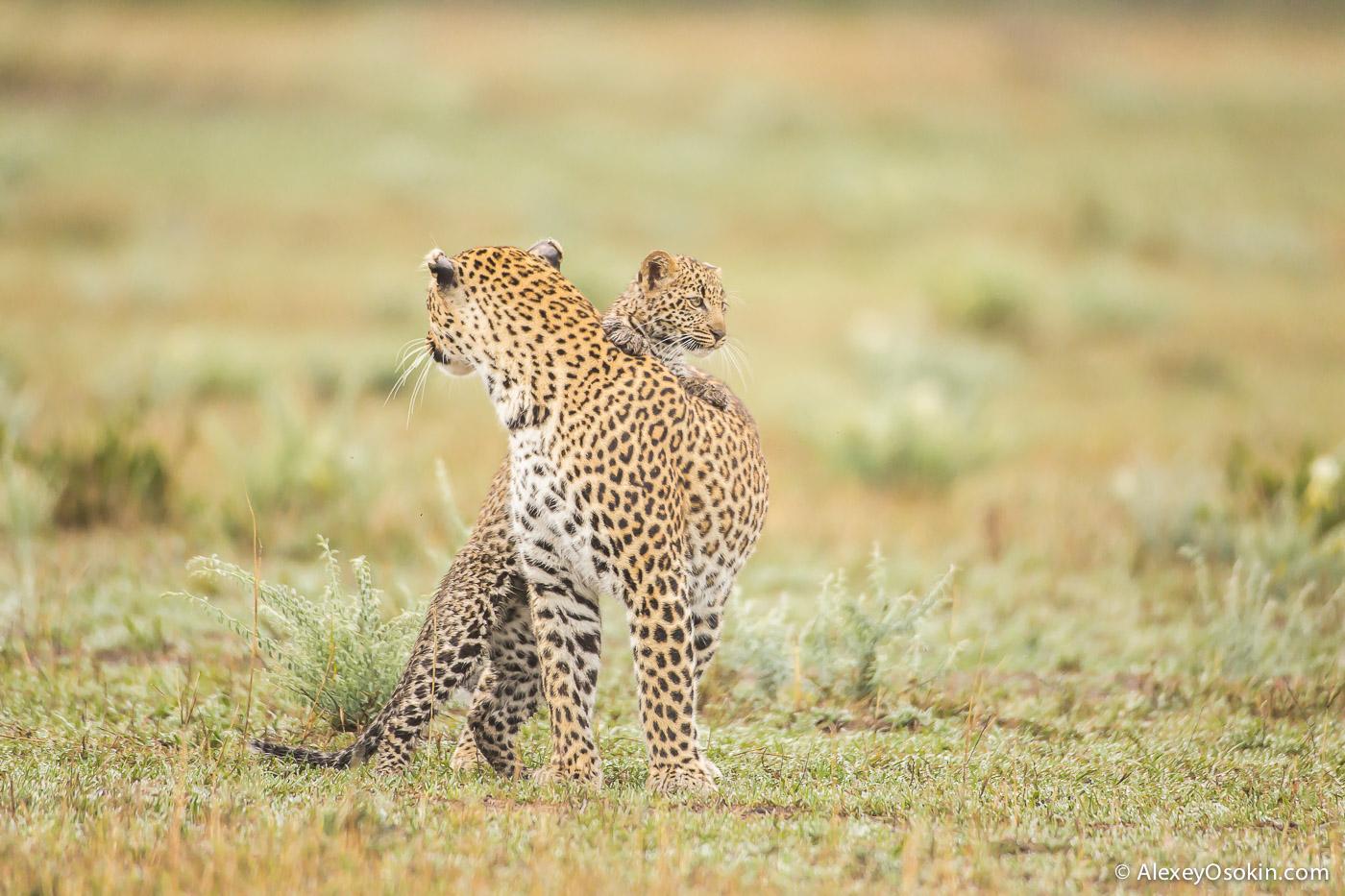 Leopard_lerean_poly_ao. oct.2015-13.jpg