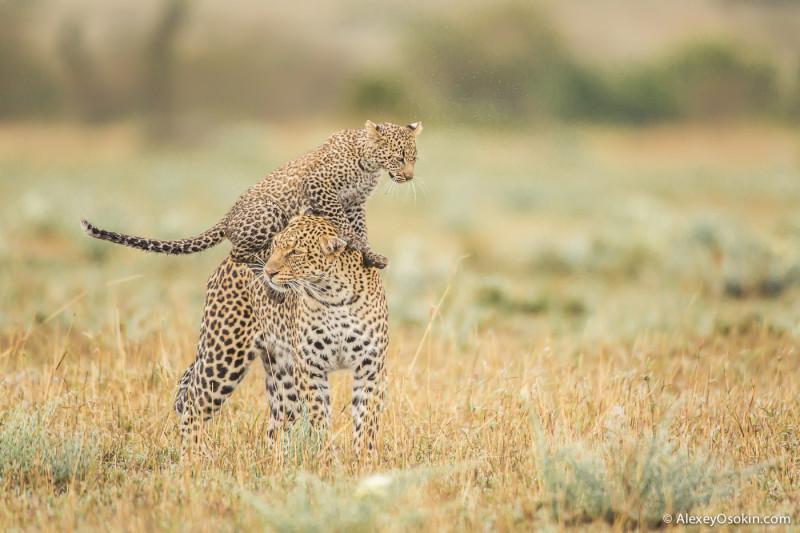 Женщины России и самки диких животных Африки, что общего? Leopard_lerean_poly_ao. oct.2015-26.jpg