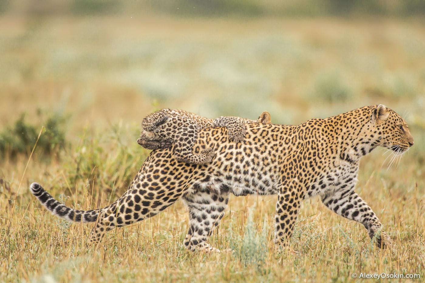 Leopard_lerean_poly_ao. oct.2015-28.jpg