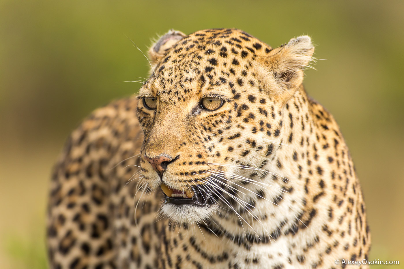 Leopard_lerean_poly_ao. oct.2015-49.jpg