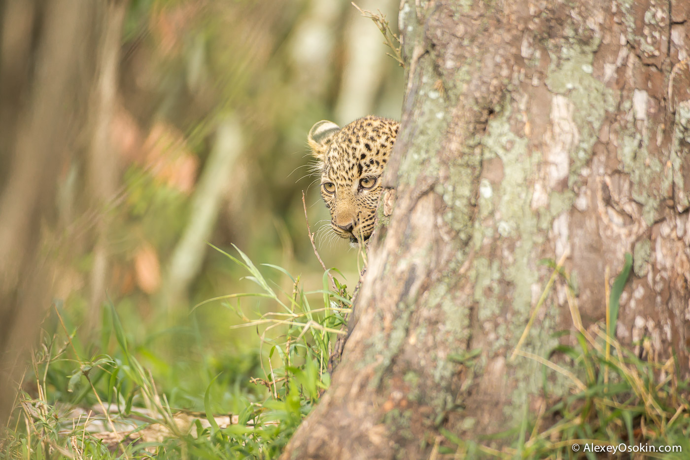Leopard_lerean_poly_ao. oct.2015-59.jpg