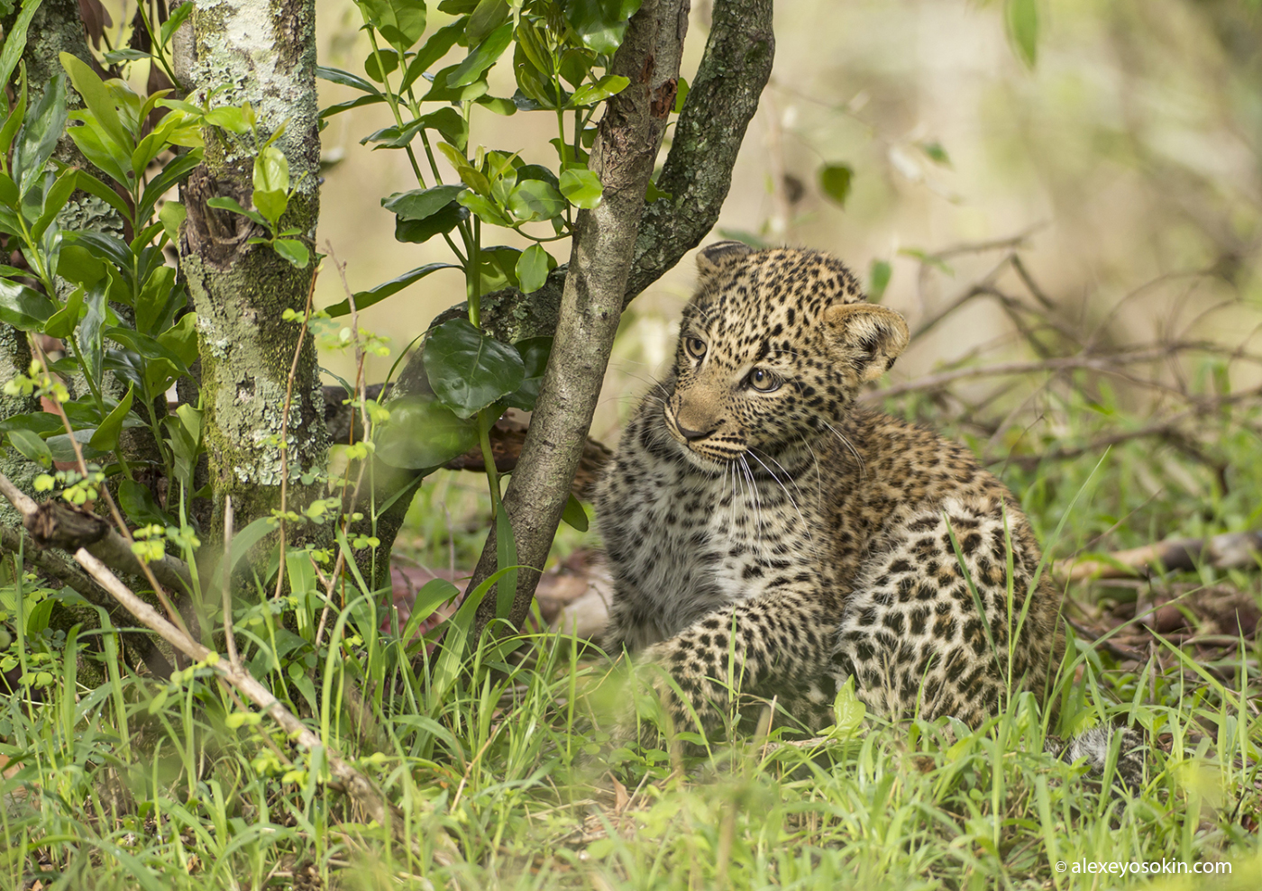 Leopard_lerean_poly_ao. oct.2015-4.jpg