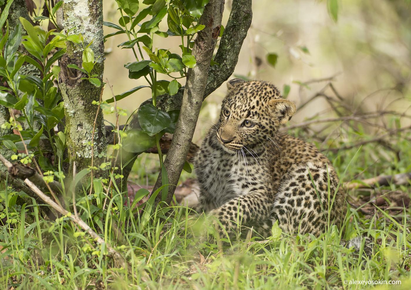 Leopard_lerean_poly_ao. oct.2015-4.jpg