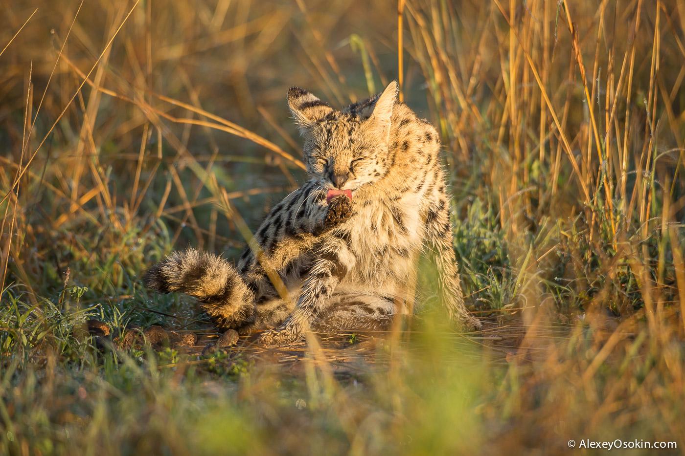 Kenya_serval_ao-2.jpg