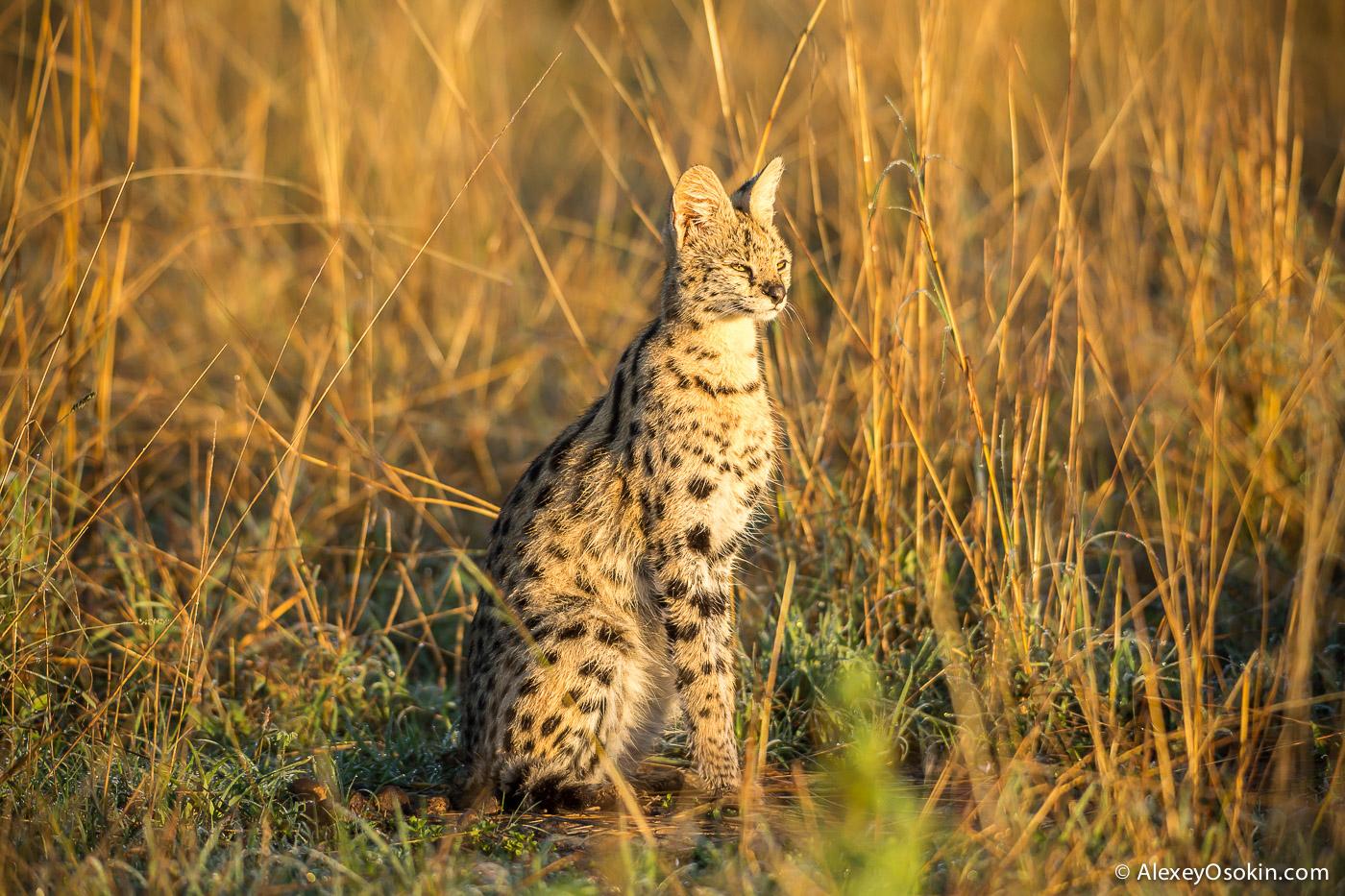 Kenya_serval_ao-3.jpg