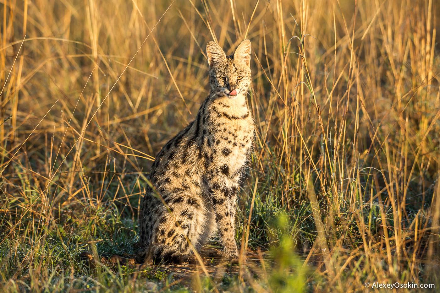Kenya_serval_ao-4.jpg