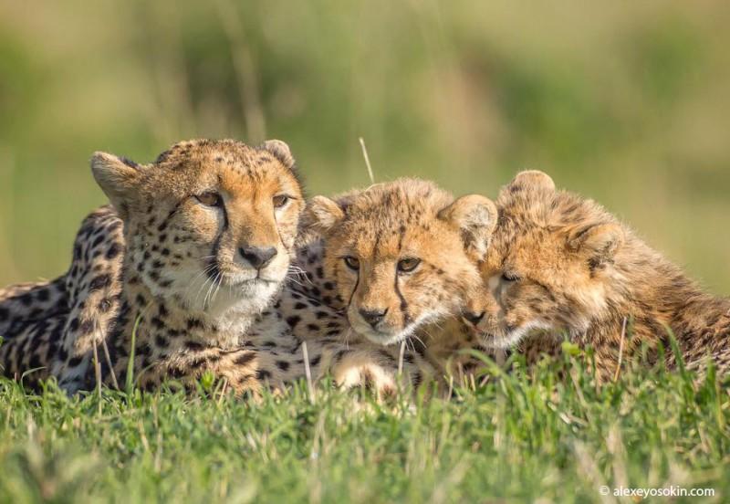 Женщины России и самки диких животных Африки, что общего? 12341578_1704413339791925_7187566051682439575_n.jpg